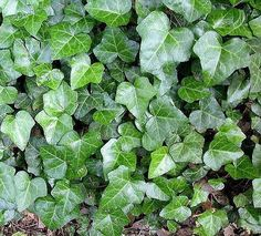 Ivy, we have baltic ivy i think on the retaining wall to the north of the house and by the sauna