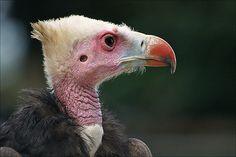 White-headed Vulture - Avvoltoio Testabianca (Trigonoceps occipitalis)