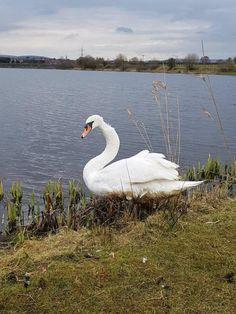 В Великобритании спасли черного лебедя: птица оказалась белой
