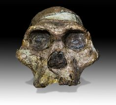 """The original complete skull (without upper teeth and mandible) of a 2,1 million years old Australopithecus africanus specimen so-called """"Mrs. Ples"""" (catalogue number STS 5, Sterkfontein cave, hominid fossil number 5), discovered in South Africa ."""