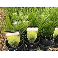 Lomandra Golden Spray This tufted golden weeping grass like plant stays lush all year round;