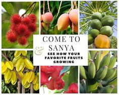 Come to Sanya and see how is you favorite tropical fruits…