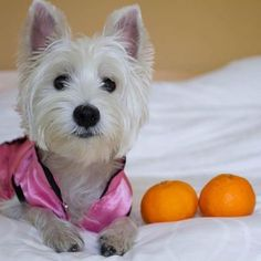 Vanillapup - Timeline Photos | Facebook | West Highland White Terrier | Scoop.it