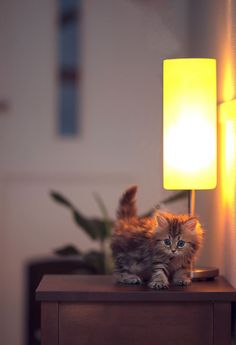 Most-Photogenic-Kitten-36 - this cat is one of the most adorable I've come across!!