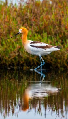 "American Avocet ~ Miks' Pics ""Fowl Feathered Friends lV"" board @ http://www.pinterest.com/msmgish/fowl-feathered-friends-lv/"