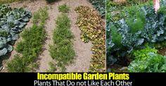 imcompatible-plants-43020151348