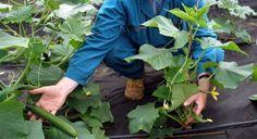 Krok za krokom: Vrúbľujeme uhorky a dyne