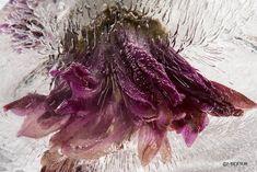 frozen flowers by Mo Devlin