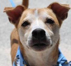 Dempsy is an adoptable Chihuahua Dog in Bunnell, FL. Dempsey is the sweetest 6 old old Chihuhua basenji mix. �He is housebroken, calm, and great with other dogs. �He is ok with cats too and fine with ...