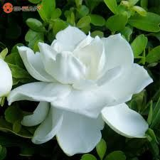Afbeeldingsresultaat voor melati bloem