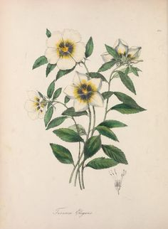 BOTANICUM POSTCARD ~ WILD FLOWERS COMMON POPPY BLACK-EYED SUSAN DANDELION