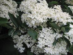 Elder Tree Blooms