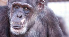 Chimp Sanctuary