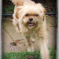 Shippenville, Pennsylvania - Schnauzer (Miniature). Meet Rollie, a for adoption. https://www.adoptapet.com/pet/19541815-shippenville-pennsylvania-schnauzer-miniature