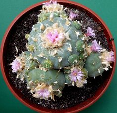 Lophophora williamsii var. decipiens, the first plant of this species I have sown in 1990; in 2015 in 19 cm pot.