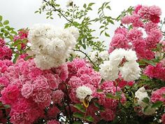 Aprenda Mais Sobre a Roseira Trepadeira   Flores - Cultura Mix
