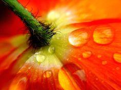 Back of Poppy   © Nancy  L. Ferrell. Such detail! So cool!