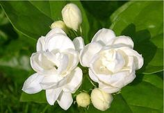 183 best flowers jasmines images on pinterest shrubs planting cheap plant pansy seeds buy quality plant seeds and bulbs directly from china seed tray suppliers 100 seeds white jasmines seeds sweet soul jasmine seeds mightylinksfo