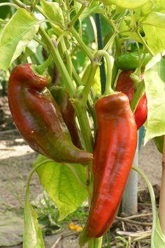 50 Original Tabasco Chilli Samen Bio Capsicum Frutescens