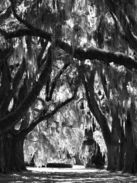 Sanctuary 30 x 40, taken in the Low Country, Spanish Moss hanging from tall Oaks