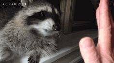 Raccoon high five Cute Funny Animals, Funny Animal Pictures, Funny Cute, Cute Pictures, High Five, Pet Raccoon, Baby Racoon, Animals Beautiful, Animals And Pets