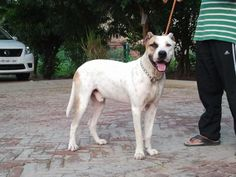22 Best Pretty Pakistan Mastiffs images in 2014 | Dogs