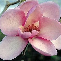 Magnolia Iolanthe, for a close look at this cute flower.