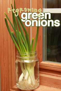 How to regrow green onions without a garden