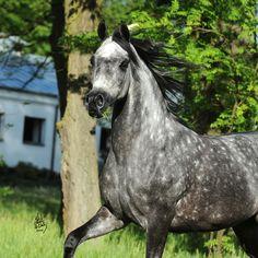 park-trot: unknown grey from Janow Podlaski