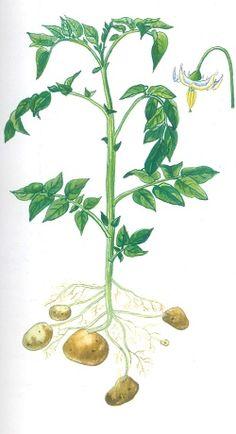 Výsledek obrázku pro kreslené brambory