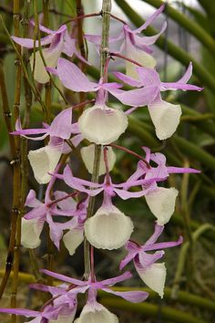 "Orchids.   (""Dendrobium pierardii 