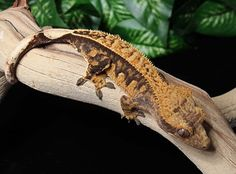 REPTILES :: Male Crested Geckos :: Male Pin Stripe Harlequin 1003-Mi47