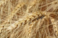 #agriculture #close up #crop #field #plant #wheat
