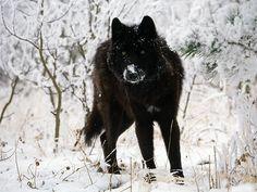 melanistic (black) wolf