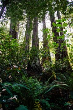 """""""Muir Woods"""" by Thomas Moore"""