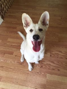 POLLY - Dog ready for adoption: German Shepherd Dog / Corgi / Mixed (short coat) in Vacaville, CA 95688