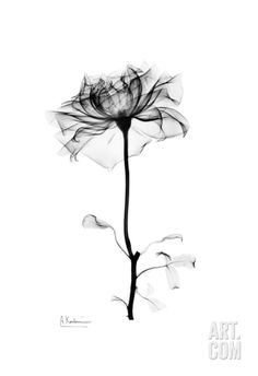 Rose in Bloom in Black and White Art Print by Albert Koetsier at Art.com