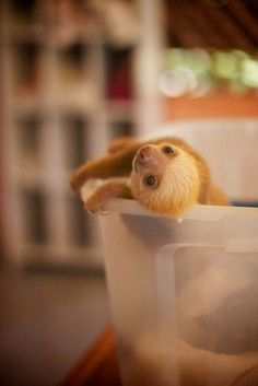 Baby sloth...can sloths be pets? They are so slow that if mine ever got into this position, I would probably have a few solid hours of squeeing in store for me.