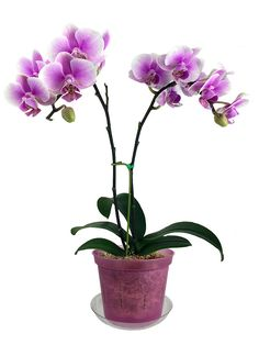 """Orchid in 6"""" Rose Quartz Slotted Orchid Pot from rePotme"""