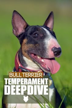 If you like laughing, you've come to the right place. Today, we're going to do a deep dive into the temperament and mentality of the gorgeous Bull Terrier. Bull Terrier Temperament, Terrier Dog Breeds, Bull Terrier Dog, Best Dog Breeds, Best Dogs, Dog Breed Info, The Perfect Dog, Getting A Puppy, Medium Sized Dogs