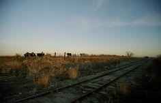 cows n trains by jamie3529gq, via Flickr