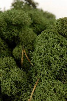 Reindeer Moss Dark Green 11oz