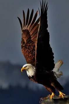 48213582 How Eagle hunt its prey? Eagle Images, Eagle Pictures, Nature Animals, Animals And Pets, Cute Animals, Beautiful Birds, Animals Beautiful, Nicolas Vanier, Aigle Animal