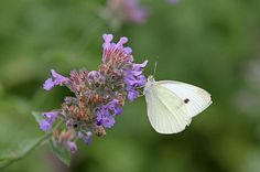 Cabbage White - Photography by Juergen Roth