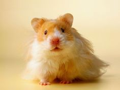 No offense Squeaky...but I want a long haired Teddy Bear Hamster :)