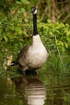 Momma and gosling at Bay Beach Wildlife Sanctuary in Green Bay, Wisconsin. - © Scott Denny 2012