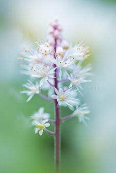 Tiarella Cordifolia Height: 12-18 Inches Spread: 12-18 Inches	 Spacing: 12 Inches Bloom Color: White Zones: 4-8 Sun: Part shade to full shade Water: Medium