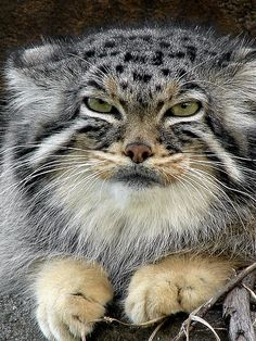 Pallas cat.  He looks so grumpy, I just want to give him a hug!