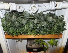 Scrog #smoke Join Us at SmokeWeedEveryday.Org for More Weed Fun!