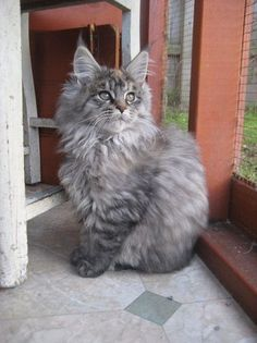 Rumpleteeza Maine Coon Cats http://www.mainecoonguide.com/where-to-find-free-maine-coon-kittens/